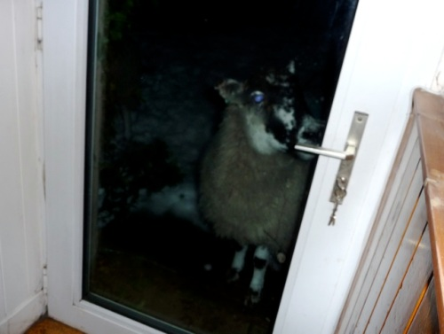 sheep-at-door-2